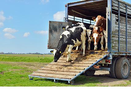Livestock Truck Transport